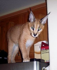 Oh you know, just a pet caracal hanging out on top of a fridge. No big deal.