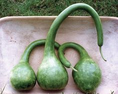 Germ 7-10 days (Lagenaria siceraria) Long, skinny, curving neck with a round bulbous end: can be cut and used as a ladle or dipper when dried. Grow on a trellis for straighter, longer handles, or try