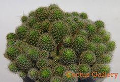 Rebutia fabrisii v. nana Cactus Gallery