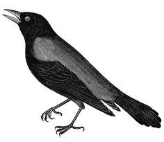 **FREE ViNTaGE DiGiTaL STaMPS**: Free Vintage Digital Stamp - Black Bird