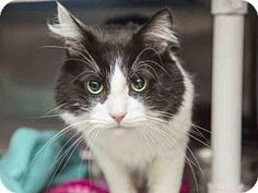 Phoenix, AZ - Domestic Longhair. Meet DUCK, a cat for adoption. Why I''d make a great companion: ~My name is Duck and I am 9.5lbs of fuzz! ~I''m a very friendly feline looking for my fur-ever home! ~I like to talk to my friends and have silly meow! ~I am very sweet and I''ll tap with my paw to let you know when I want attention!  http://www.adoptapet.com/pet/17696010-phoenix-arizona-cat