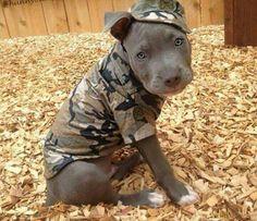 Army Pit bull