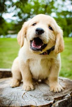 Golden Retriever Puppy /It's a Dog's World Baby Animals, Funny Animals, Cute Animals, Animal Babies, I Love Dogs, Puppy Love, Happy Puppy, Cute Puppies, Cute Dogs