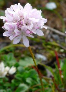 Flores ornamentales: Armeria punzante (Armeria pungens)