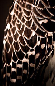 Falcon Plumage by Tariq Dajani