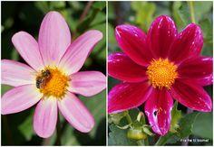 Fra frø til blomst: Dahlia såning