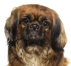 Maybe we can help finding a loving and hopefully forever home for the sweet baby. http://www.doggielife.com/zeldo/dogs/LYEPB6 #dogs #pekingese