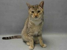 ADOPTER RETURNED 7 MONTH OLD KITTEN FOR HAVING A COLD - FIONA IS SOCIABLE AND FRIENDLY AND NEEDS A FUREVER HOME!