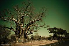 Photograph The Big Tree, Victoria Falls, Zimbabwe by Kallie Erasmus on 500px