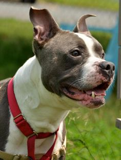 Meet Conan, a Petfinder adoptable Dog | Methuen, MA |