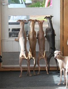 Italian greyhounds love to live in packs. These are so cute.