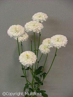 Multiflora | Flower List