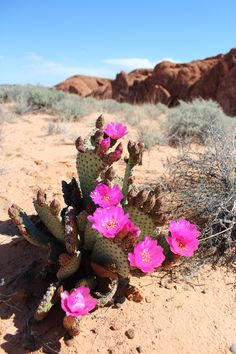 Beavertail Cactus (Opuntia basilaris) Valley of Fire, Nevada Desert Colors, Desert Flowers, Desert Cactus, Desert Plants, Desert Tattoo, Cactus Plante, Valley Of Fire, Nature Aesthetic, Photos Voyages
