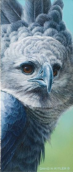 Harpy Eagle - Painting Art by David Kitler - Nature Art & Wildlife Art - Nature and Wildlife Original Paintings & Reproductions - Kitler Art Pretty Birds, Love Birds, Beautiful Birds, Animals Beautiful, Aigle Harpie, Eagles, Rapace Diurne, Harpy Eagle, Eagle Painting