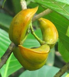 ecosystem/flora/Nag-Kuda(Tabernaemontana alternifolia)