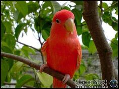 RED AGAPORNIS