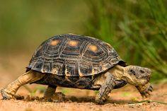 Texas tortoise (Gopherus berlandieri)