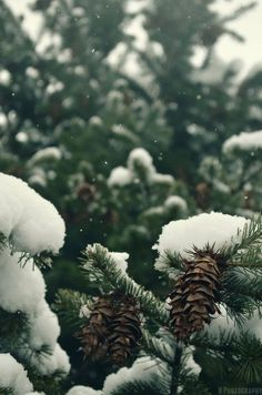 Snow on pines. pinecone / pinecones / tree / trees / snow / snowy / winter