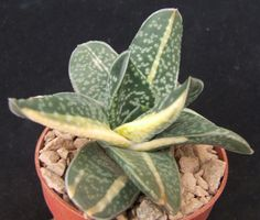 Gasteria 'Triangle' Variegated 7cm Japanese Hybrid collectors succulent / cactus | eBay