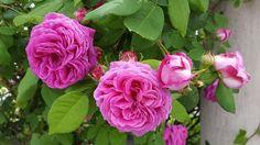 Die bezaubernde 'Mme Isaac Pereire' duftet berauschend! Ihre riesigen Blüten leuchten in tief-rosa Schattierungen einem purpur-artigen Rosa. Sie sind becherförmig dicht gefüllt und haben ein gelbes Auge um das die Blütenblätter geviertelt stehen. Wunderschön!