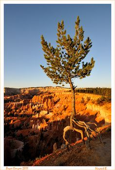 The Spyder Tree by Bournazel    Bryce Canyon