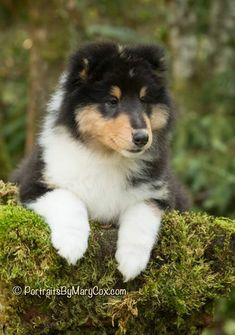 Sweet Tricolor Collie pup
