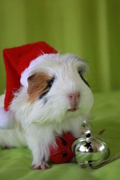 A festive Guinea pig! #Christmas #holidays