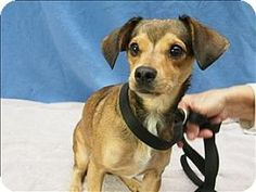 Portland, OR - Dachshund Mix. I'm Kaysee! I couldn't be more excited about being someone's new furry friend. I have been looking for someone to spend time with me and hang out! I adore being with people and want to give you all the love you'll let me! I am more than just a pretty face, I am 2 and weigh 10 pounds of pure love.