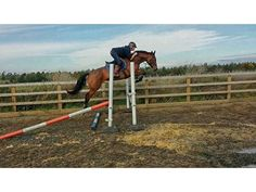 Quality KWPN youngster for sale | HorseDeals.co.uk
