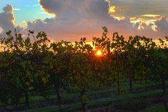There's nothing more beautiful than our vineyard at sunset!