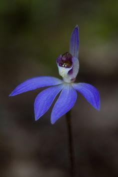 Eastern-Blue-Fairy-Orchid : Cyanicula caerulea - Flickr - Photo Sharing!