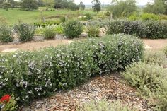 OZBREED AUSSIE BOX® Westringia is a native box hedge plant with mauve flowers and a dense growth habit. Great native alternative to exotic box plants, Drought tolerant and needs less water. Requires less pruning than other Westringias. Box Hedging, Hedging Plants, Garden Shrubs, Garden Plants, Garden Spaces, Facts About Plants, Garden Express, Australian Native Garden, Rain Garden