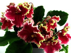 African Violet Saintpaulia  ~ Ognennye Motylki Russian Variety | eBay  Hybridized by: K. Morev Dark red single or semi-double flowers with a wide red border or red and white. Fringe changes color as the dissolution of the flower. Medium green foliage.