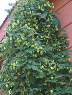 Hops vine for the pergola, LOVE this!