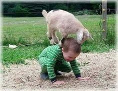 Baby goat on back of a toddler proving goats will get on top of anything not moving...
