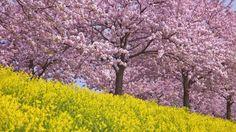 Webshots - Cherry Blossoms, Honshu, Japan