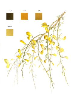 Natural Dyeing: Broom