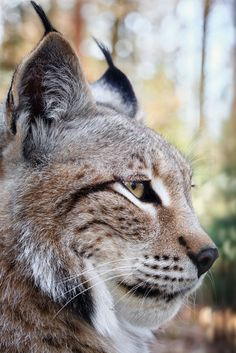 Lynx my favorite animal Big Cats, Cool Cats, Cats And Kittens, Siamese Cats, Nature Animals, Animals And Pets, Cute Animals, Wild Animals, Baby Animals