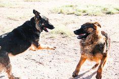 www.elitek-9.com   #germanshepherd #gsd #protectiondogs #exotics #luxurylife #czechshepherd Executive Protection, Working Dogs, German Shepherds, Luxury Life, Dog Training, Puppies, Travel, Animals, Instagram