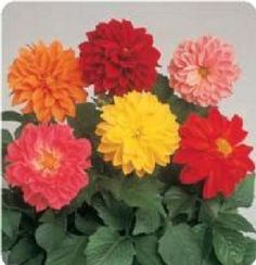 Flower-Dahlia-Figaro-Mix-25-Seeds