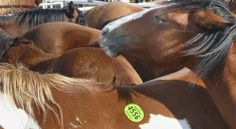 Judge Extends Temporary Restraining Order Preventing Slaughter of Horses in NM | Rate My Horse PRO