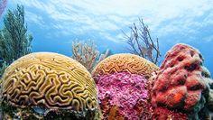 Brain Coral - Belize