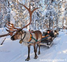 Enjoy a nice reindeer ride with Santa Claus Reindeer in Rovaniemi in Lapland