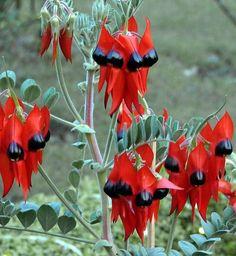 Desert Flower Names Strange Flowers, Unusual Flowers, Unusual Plants, Amazing Flowers, Australian Wildflowers, Australian Native Flowers, Australian Plants, Desert Flowers, Desert Plants