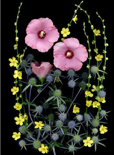Red hybiscus syriacus, the yellow flowers of a verbascum hybrid and blue eryngium planum 'blaukappe' Exotic Flowers, Yellow Flowers, Spring Flowers, Beautiful Flowers, Botanical Drawings, Botanical Prints, Sea Holly, All The Pretty Horses, Colorful Garden