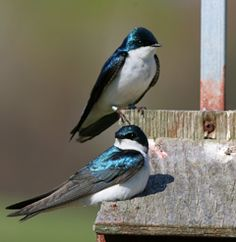 Tree Swallow Here they come again. Listen for the twittery sound. They love bird houses. Easy mosquito control.