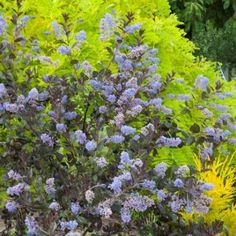 Plantipp.eu | Bringing People, Plants and Ideas Together | Ceanothus 'Tuxedo'PBR