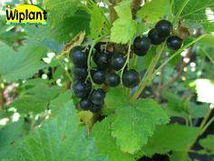 Ribes nigrum 'Narve Viking', Svarta vinbär. Norsk sort.   Frisk, söt och lätt syrlig smak.  Stora saftiga bär med tunnt skal, rika på c-vitamin.  Kraftig och upprättväxande buske.  Höjd: 1,2-1,4 m.  Bra motståndskraft mot mjöldagg och gallkvalster.  Zon IV-V.