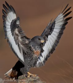 Landed! - A Jackal Buzzard a moment before closing its wings after landing at Giants Castle in South Africa