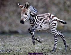Zebras baby selfie